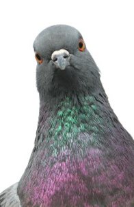 Pigeon Science on Human Subjects